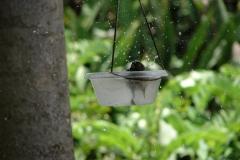 St.-Maarten-0906-The-Butterfly-Farm-Vogel-neemt-bad
