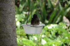 St.-Maarten-0908-The-Butterfly-Farm-Vogel-neemt-bad