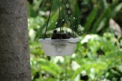 St.-Maarten-0909-The-Butterfly-Farm-Vogel-neemt-bad
