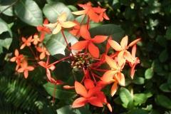 St.-Maarten-0912-The-Butterfly-Farm-Bloem