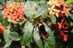 St.-Maarten-0913-The-Butterfly-Farm-Vlinder-met-rode-rand