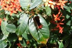St.-Maarten-0914-The-Butterfly-Farm-Vlinder-met-rode-rand