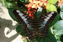 St.-Maarten-0915-The-Butterfly-Farm-Bruin-blauwe-vlinder