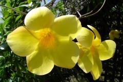 St.-Maarten-0917-The-Butterfly-Farm-Gele-Bloem