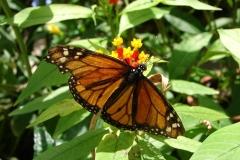 St.-Maarten-0918-The-Butterfly-Farm-Oranje-vlinder