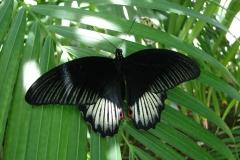 St.-Maarten-0921-The-Butterfly-Farm-Zwarte-vlinder-met-rode-ogen