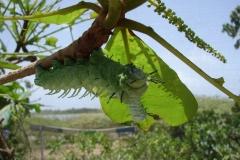 St.-Maarten-0923-The-Butterfly-Farm-Grote-groene-rups