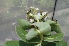 St.-Maarten-0926-The-Butterfly-Farm-Geel-zwarte-rupsen