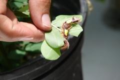 St.-Maarten-0928-The-Butterfly-Farm-Rups-eet-blad