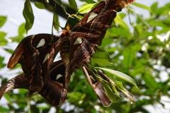 St.-Maarten-0933-The-Butterfly-Farm-Parende-motten