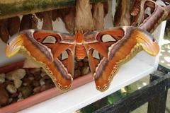 St.-Maarten-0934-The-Butterfly-Farm-De-grootste-mot-ter-wereld