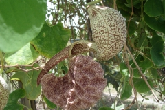 St.-Maarten-0938-The-Butterfly-Farm-Tropische-plant