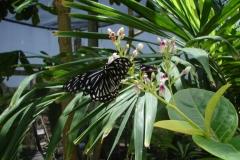 St.-Maarten-0940-The-Butterfly-Farm-Zwart-witte-vlinder