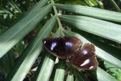 St.-Maarten-0941-The-Butterfly-Farm-Zwarte-vlinder-met-blauwe-ogen