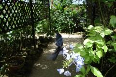 St.-Maarten-0943-The-Butterfly-Farm-Blauwe-vlinder