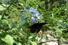St.-Maarten-0944-The-Butterfly-Farm-Zwarte-vlinder