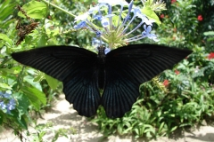 St.-Maarten-0945-The-Butterfly-Farm-Zwarte-vlinder