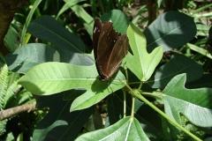 St.-Maarten-0946-The-Butterfly-Farm-Bruine-vlinder