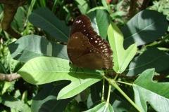 St.-Maarten-0948-The-Butterfly-Farm-Bruine-vlinder