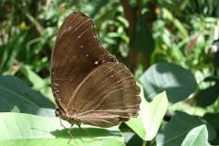 St.-Maarten-0949-The-Butterfly-Farm-Bruine-vlinder