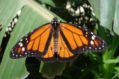 St.-Maarten-0950-The-Butterfly-Farm-Oranje-vlinder