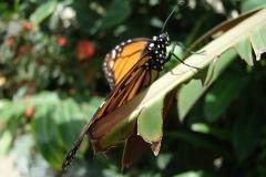 St.-Maarten-0951-The-Butterfly-Farm-Oranje-vlinder
