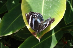St.-Maarten-0952-The-Butterfly-Farm-Zwart-wit-blauwe-vlinder