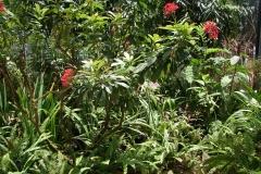 St.-Maarten-0954-The-Butterfly-Farm-Tropische-planten