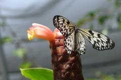 St.-Maarten-0957-The-Butterfly-Farm-Wit-zwarte-vlinder