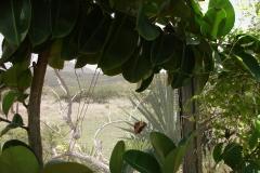 St.-Maarten-0961-The-Butterfly-Farm-Tropische-bloem-met-vlinder