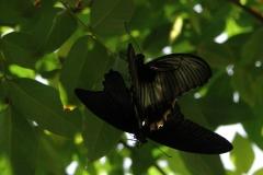 St.-Maarten-0962-The-Butterfly-Farm-Parende-vlinders