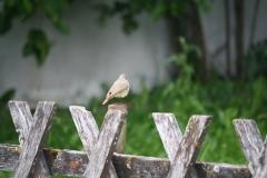 Oostenrijk-Bramberg-Vogeltje-op-hek