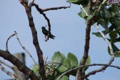 St.-Maarten-0111-Kleurrijk-vogeltje
