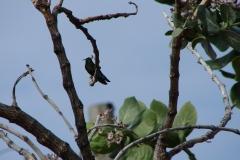 St.-Maarten-0112-Kleurrijk-vogeltje