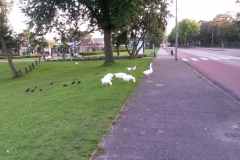 Alkmaar-001a-Grazende-ganzen