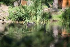 Geulle-004-Zwarte-zwanen