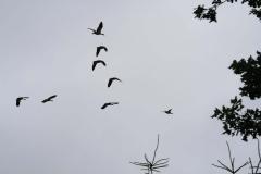 Puth-Windraak-020-Overvliegende-ganzen