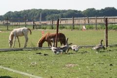 Windraak-006-Ganzen-en-paarden