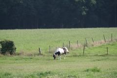 Bunde-021-Tinker-paard