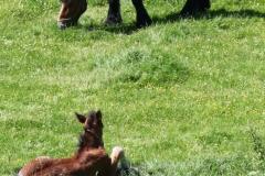 Geverik-en-Beek-021-Belgisch-paard-met-veulen
