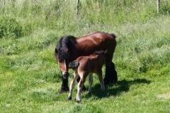 Geverik-en-Beek-027-Belgisch-paard-met-veulen