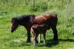 Geverik-en-Beek-028-Belgisch-paard-met-veulen