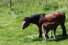 Geverik-en-Beek-029-Belgisch-paard-met-veulen