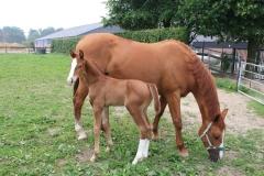 Spaubeek-002-Paard-en-veulen