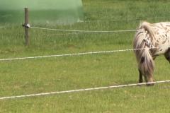 Spaubeek-027-Gevlekte-pony