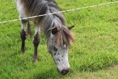 Spaubeek-030-Grijze-pony