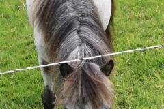 Spaubeek-031-Grijze-pony